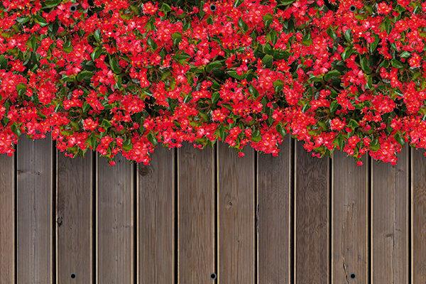 Begonie - Osłona balkonowa